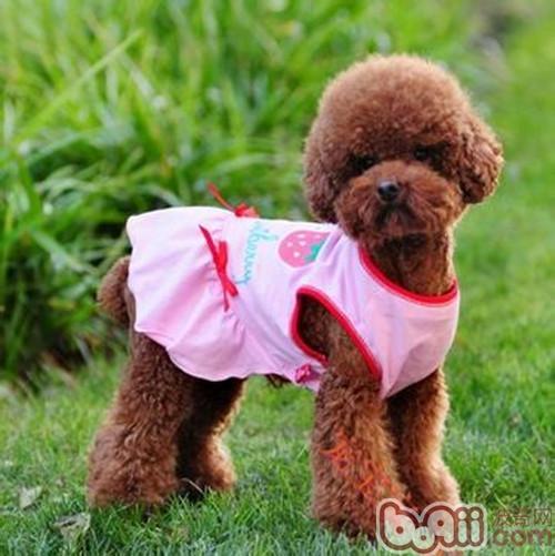 为狗狗选购衣服时的考量-成犬饲养